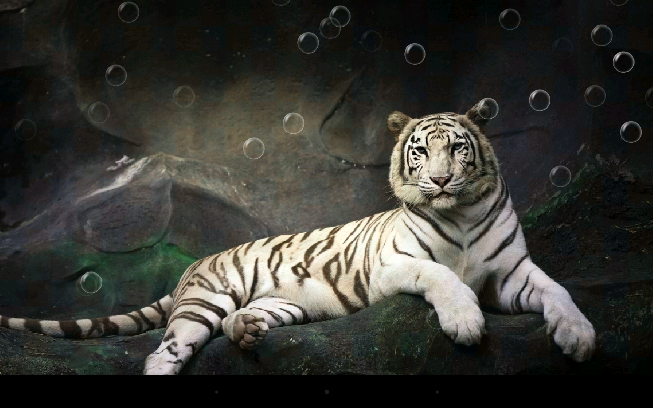 60b63298b717f Animals - Free Screen Savers Wild Tigers Screensaver - Animated Wallpaper